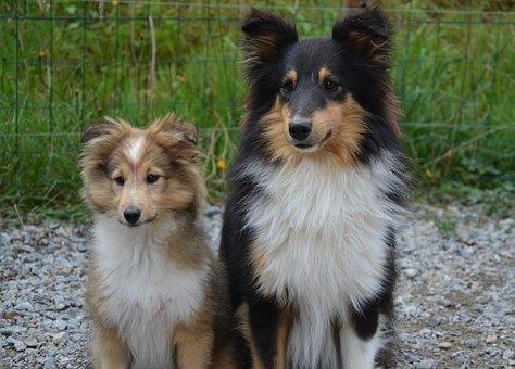 Dogs, Shetland Sheepdog, Couple, Dog, Bitch, Tricolor