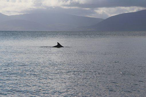 Dolphin, Fungie, Dingle, Ireland