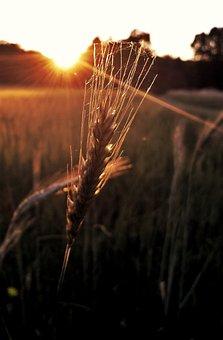 Grain, Field, Cereals, Ear, Grains, Field Crops