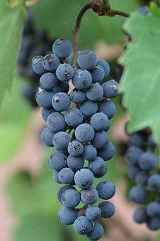 Grapes, Vines Stock, Fruits, Berries, Fruit, Juice