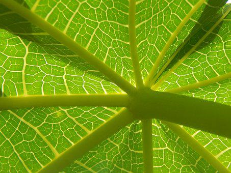 Leaf, Papaya, Green, Ribbing
