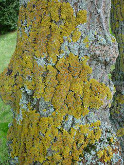 Lichen, Yellow-greenish, Stains, On A Tree Trunk