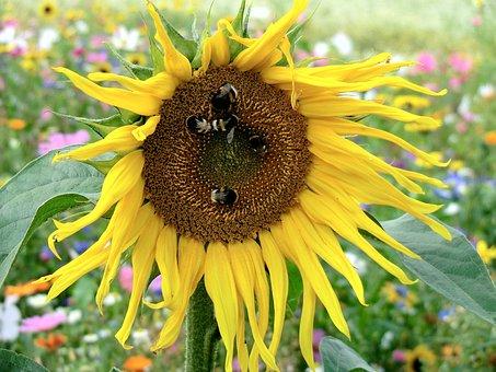 Sun Flower, Meadow, Hummel, Nature, Close, Blossom