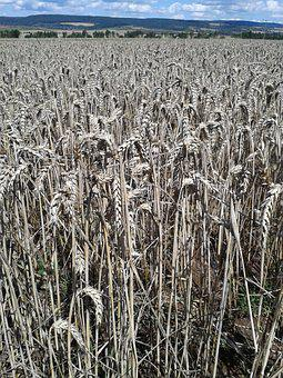 Field, Wheat, Nutrition, Cereals, Grain, Agriculture