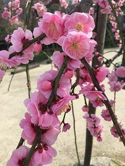 Ume, Plum, 2 Month Flower