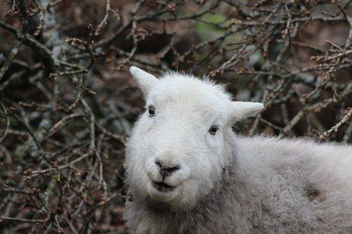 Sheep, Herdwick, Animal, Nature, Lamb, Cumbria, Breed