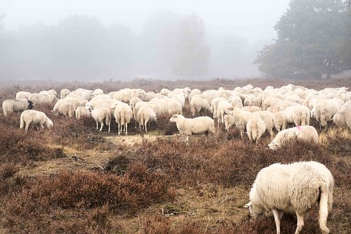 Sheep, Field, Forest, Countryside, Rural, Pasture