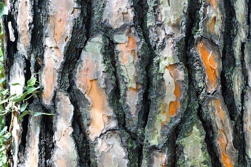 Spruce, Tree, Bark, Forest, Conifer, Nature, Fir Tree