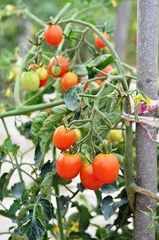 Tomato, Tomatoes, Cherry Tomatoes, Vegetables, Eating