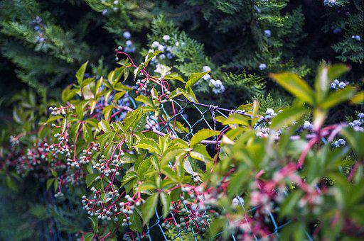 Virginia Creeper, Woodbine, Creeper, Virginia, Plant