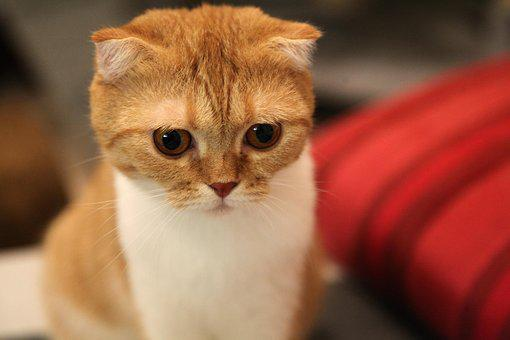 Cat, Scottish Fold, Scottish, Animal, Fold, Eyes, Close