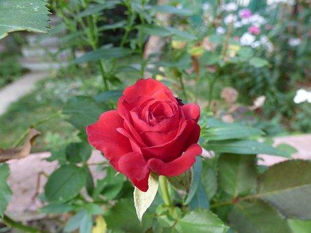 Rose, Mini-rose, Color, Flower, Flowers, Bloom, Yellow