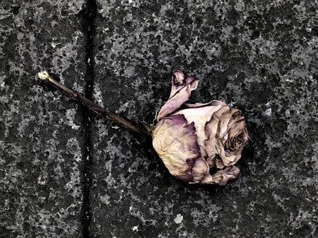 Rose, Death, Flower, Sadness, I Feel Sorry For