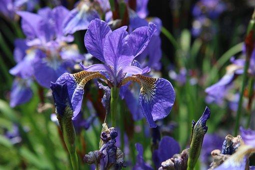Iris, Blue, Purple, Flag, Flower, Garden, Plant