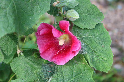Hollyhock, Flower, Planr, Pink, Garden, Nature, Bloom