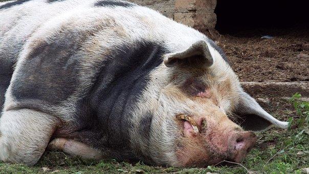 Swine, Hog, Pig, Pigsty, Farm Animal, Domestic Pig