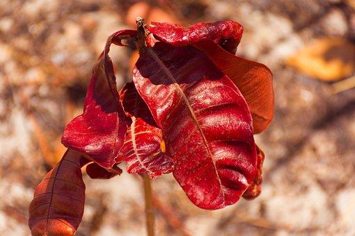 Leaves, Dry Leaves, Red, Dry Leaf, Foliage Dries