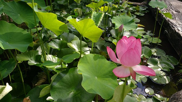 Basin, Aquatic Plant, Lotus Flower, Nature, Aquatic