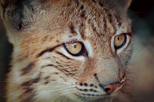 Lynx, Lynx Baby, Young Animal, Animal, Big Cat
