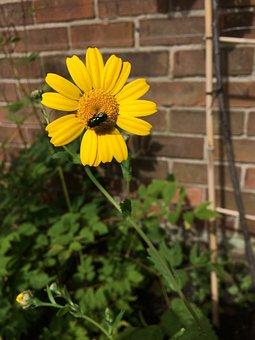 Corn Marigold, Flower, Yellow, Marigold, Summer, Plant