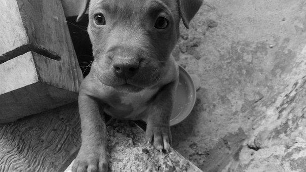 Puppy, Dog, Miniature, Pet, Animal, Pupfish, Look, Mini