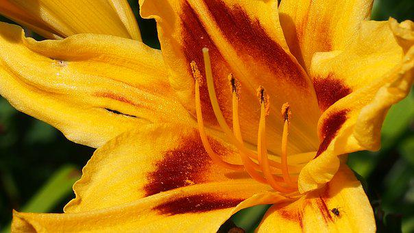 Flower, Blooms, Daylilies, Nature, Plant, Macro