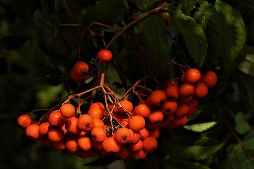 Rowan, Nature, Rowan Berries, Summer, Maturation