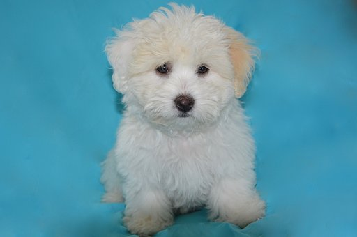 Puppy, Dog, Pet Dog, Animal, Petit, White Fur, Look