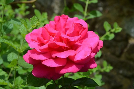 Pink, Rose Thorn, Shrub Spicy, Summer Flowers
