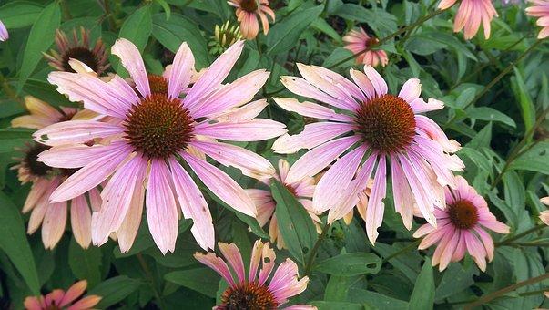 Plants, Flowers, Purple Coneflower, Flowering Plants