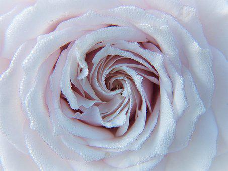 Rose, White, Pink, Blossom, Bloom, Close, Dew