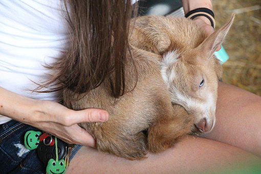 Sleeping Goat, Light Brown, Goat, White, Animal, Brown