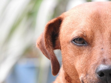 Animal, Dog, Pets, Puppy, Mammals, Look, Nature, Eye