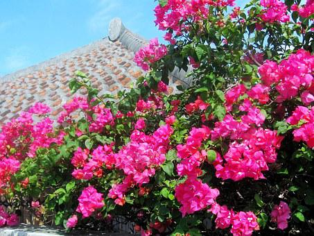 Ishigaki Island, Bougainvillea, Blue Sky, Okinawa