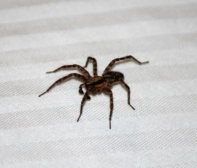 Spider, House Spider, Brown, Scary, 7 Legs, House, Fear