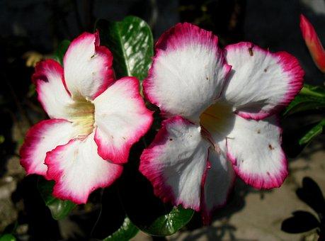 Bunga, Kamboja Jepang, Jawa, Indonesia, Flower, Adenium