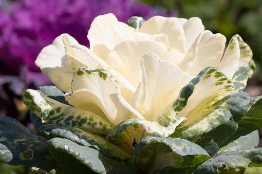 Ornamental Cabbage, Brassica Oleracea, Cabbage Green