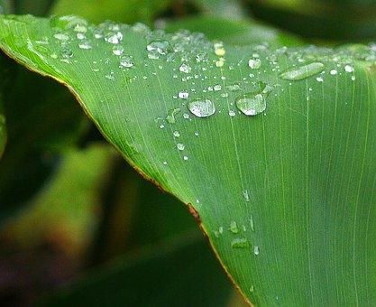 Cannae Divided Leaf, Drops Of Water, Dew Drops, Closeup