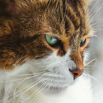 Cat, Cute, Eyes, Intense, Stare, Whiskers, Fur