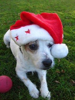 Merry Christmas, Jack Russel Terrier, Christmas Dog