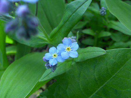 Do Not Forget Me, Blue Flower, Cute