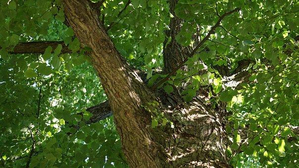 Deciduous Tree, Linden, Tree, Green, Solid Body