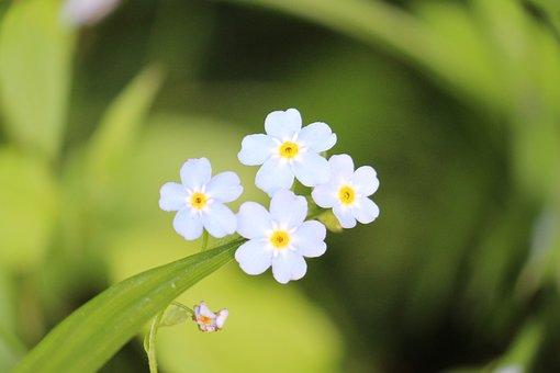 Do Not Forget Me, Myosotis, Flower, Spring