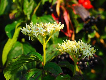 Red Dogwood, Flowers, White, Dogwood, Berries, Black