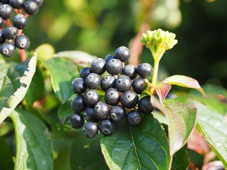 Red Dogwood, Dogwood, Berries, Black, Fruits, Cornus