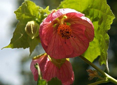 Flowering Maple, Container Plant, Garden, Deck, Pink