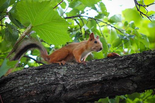 Squirrel, Food, Sniff, Rodent, Trees, Tree, Animals