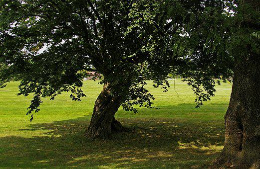 Tree, Linden, Shadow, Light, Forest, Nature, Green