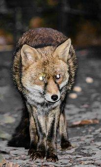 Fox, Red Fox, Animal, Red, Wildlife, Wild, Mammal, Fur