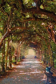 Tree Alley, Linden Allee, Gnarly Trees, Sun Rays
